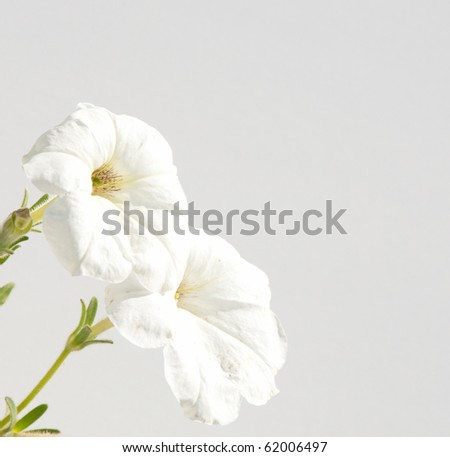 White Petunia flowers against muted white background