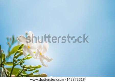 white petunia flowers on sky background - stock photo