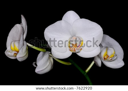 White phalaenopsis on black