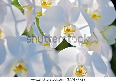 White Phalaenopsis orchids close up at Royal Rajchapuak Park,Chiangmai Thailand Thai orchids. - stock photo