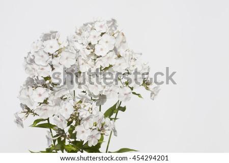 white phloxes - stock photo