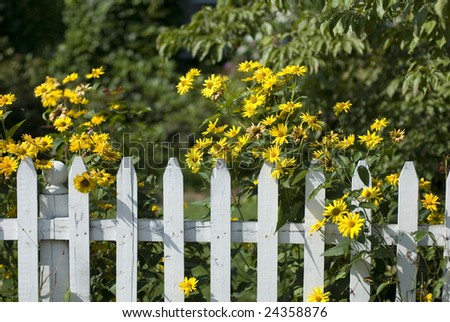White picket fence with yellow flowers. - stock photo