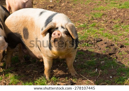 White pig with black spots looking to camera inquisitive and questioning  - stock photo