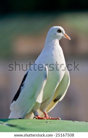 White pigeon - stock photo