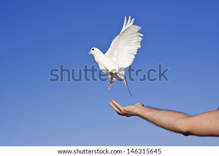 White pigeon and freedom - stock photo