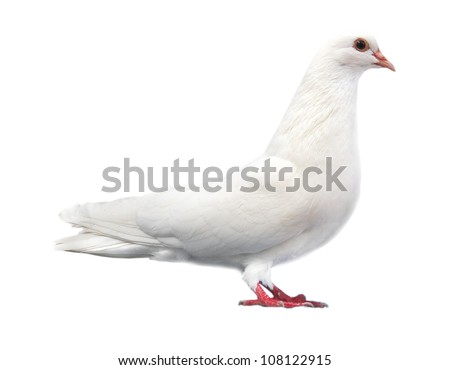 white pigeon dove sits isolated on a white background - stock photo