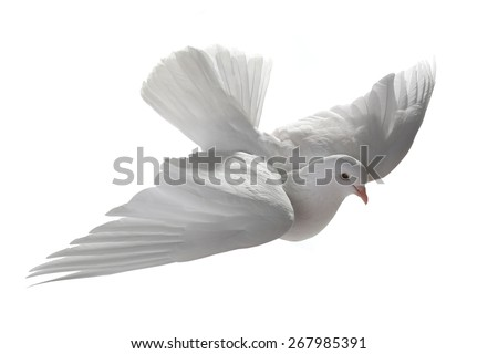 white pigeon in flight on a white background - stock photo