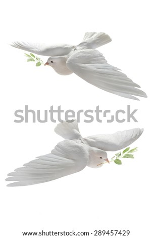 white pigeon in flight on a white background with an olive branch - stock photo