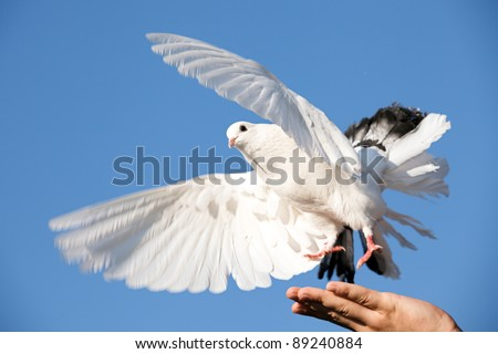 white pigeon in hand against sky