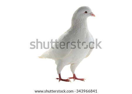 white pigeon on a white background