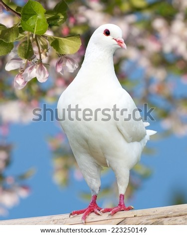 White pigeon on flowering background - imperial pigeon - ducula