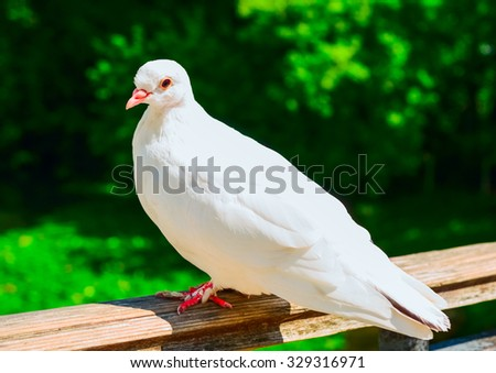 White pigeon sitting on fence in summer day - stock photo