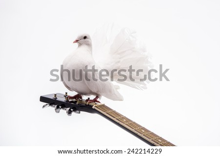White pigeon. White pigeon on guitar isolated in white background. - stock photo