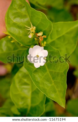 White Pikake flower growing with green leaves