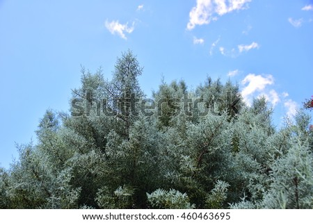 White pine or christmas branches against blue sky as a background in perspective view