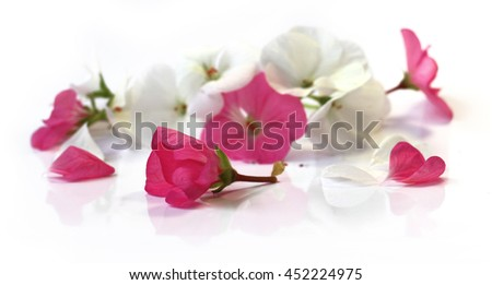 white pink geranium perspective, fresh delicate flowers and petals of pelargonium, isolated on scrapbook background