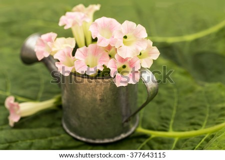 White pink tobacco flowers  in metal zinc grey small flower garden watering can on green tobacco leaf background. no tobacco day - stock photo