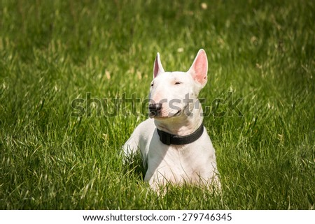 white pit bull terrier puppy lying on the green grass - stock photo