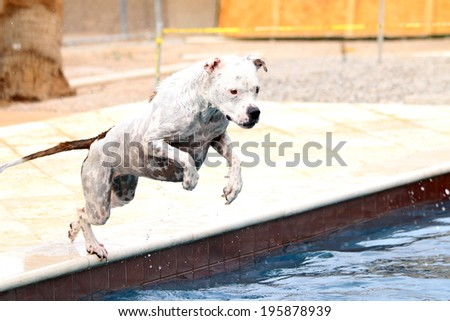 White pitubll jumping off the side of a swimming pool into the water - stock photo