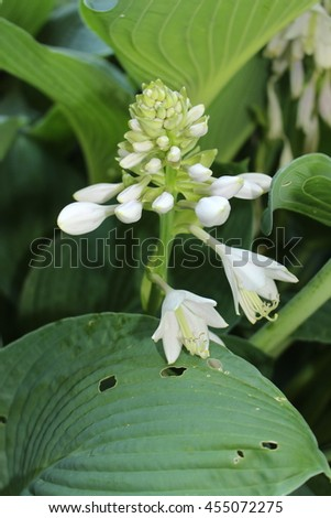 "White ""Plantain Lily"" flowers (or Hosta, Giboshi) in St. Gallen, Switzerland. Its Latin name is Hosta Sieboldii, native to Japan."