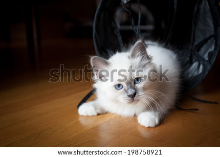 White playful kitten looking into camera - stock photo