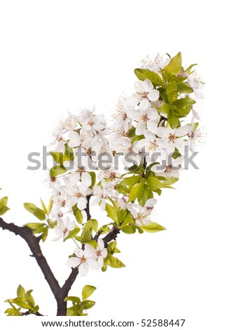 white plum blossom isolated on white
