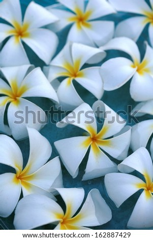White plumeria exotic tropical flowers in a water  as a background