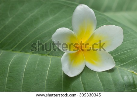 White plumeria flower with green leaf background