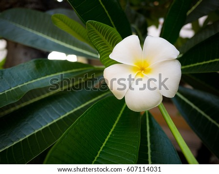 White Plumeria Flower with leaves