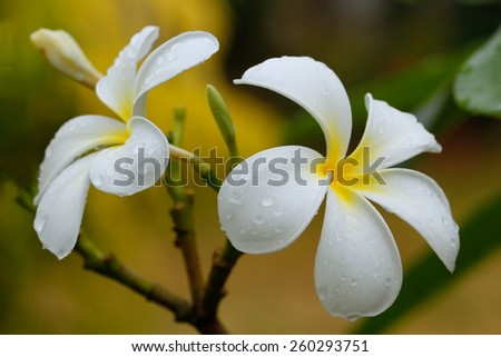 White plumeria flowers on a tree with water drops