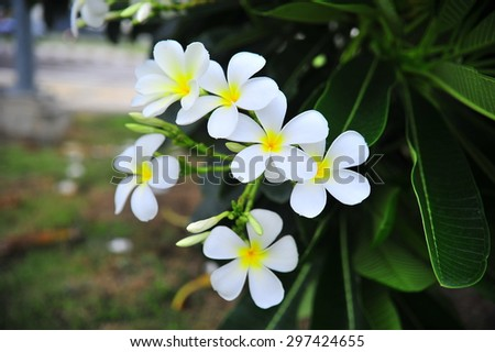 white Plumeria flowers on the natural tree branches. beautiful, fresh petals  - stock photo