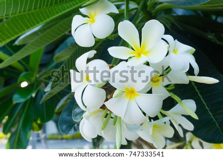 White plumeria flowers on the tree. Green leaves smelled fragrant in the evening.