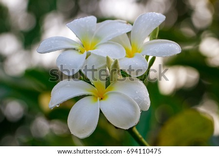White Plumeria Flowers On Tree.