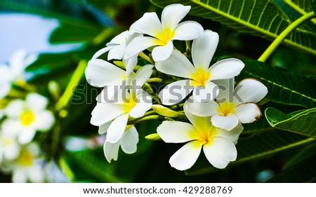 White plumeria  flowers.Vintage Filter Effect White plumeria on  tree. frangipani tropical flowers - stock photo