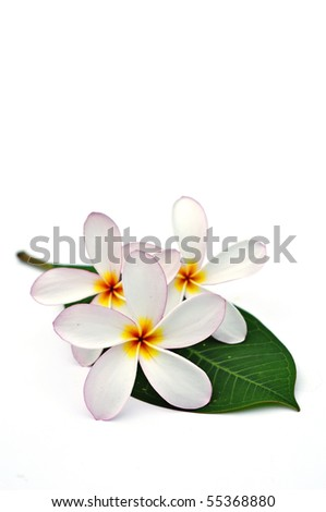 White Plumeria flowers with leaf on white background - stock photo