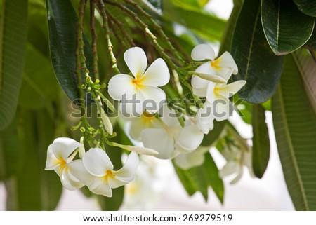 White Plumeria (frangipani) flowers on tree, Hawaiian island. Tropical flowers. - stock photo