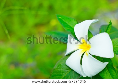 White plumeria (frangipani). Shallow DOF. - stock photo