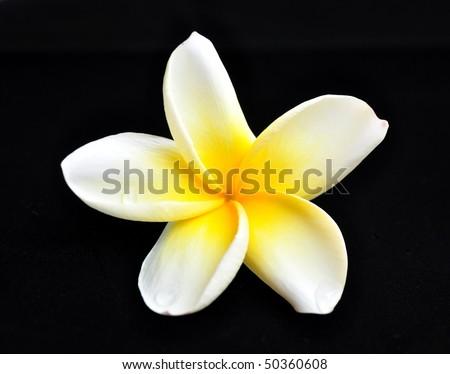White plumeria isolated on black - stock photo
