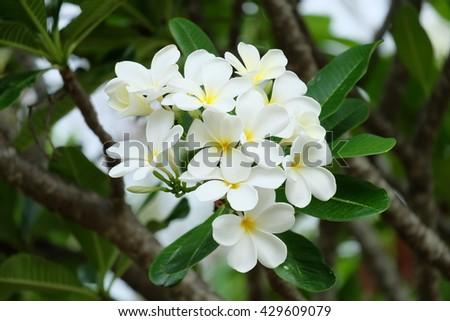 White plumeria on the plumeria tree, Frangipani tropical flowers. - stock photo