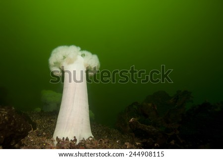White plumose anemone in cold, green water.   - stock photo