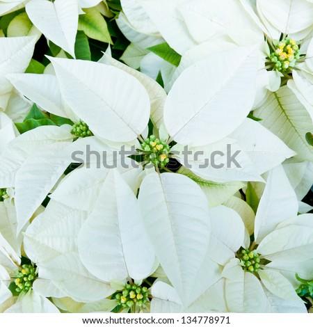 White poinsettias, Christmas flowers - stock photo