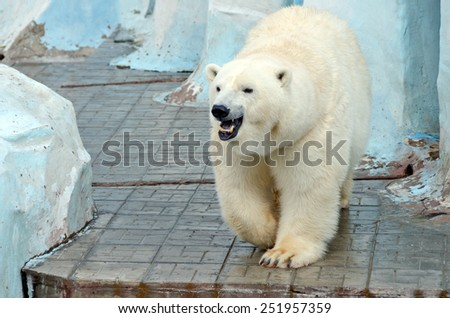 White polar bear in zoo on blue background - stock photo