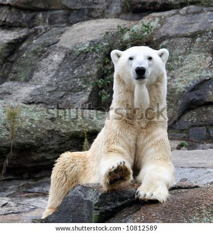 White polar bear sat on rock - stock photo