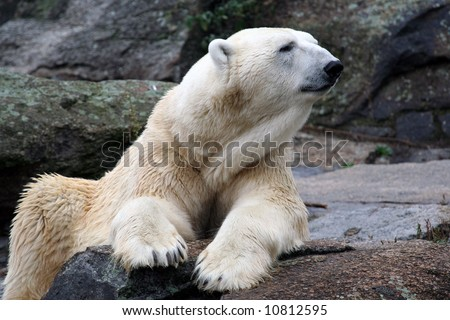 White polar bear sat on rock