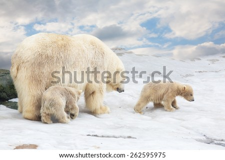 white polar she-bear with two bear cubs goes on snow - stock photo