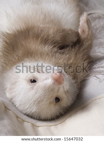 white polecat lie on clothes - stock photo