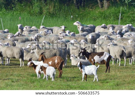 White Polled Heath and Boer goat