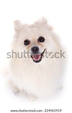 white pomeranian dog isolated on white background - stock photo