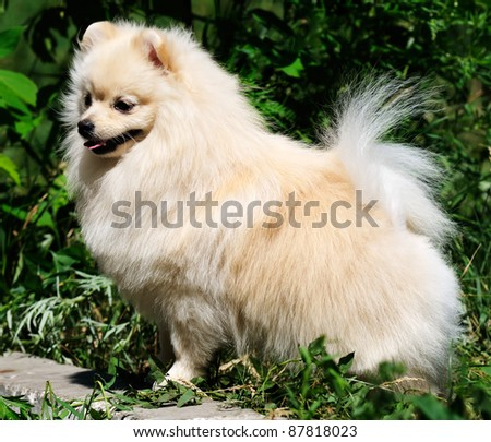White Pomeranian dog outdoor over green background - stock photo
