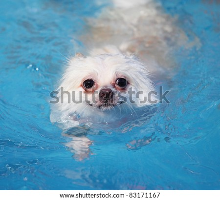 white pomeranian dog swimming in swimming pool at summer